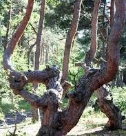 Wandelen door een raar dennenbos (0h30, 1h of 1h30)